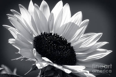 Photograph - Elegant Sunflower by Jim And Emily Bush