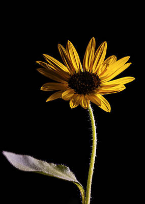 Light Paint Photograph - Elegant Sunflower Light Painted On Black by Vishwanath Bhat