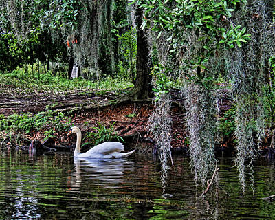 Photograph - Elegant Swan by Judy Vincent