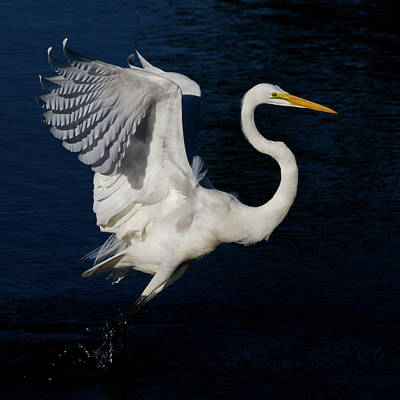 Photograph - Elegant Take-off by Lamarre Labadie