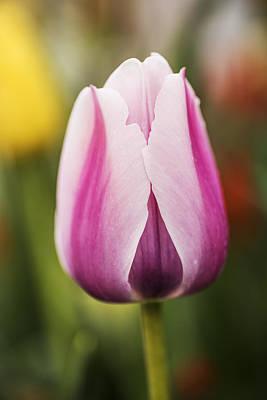 Photograph - Elegant Tulip With Natural Bokeh by Vishwanath Bhat