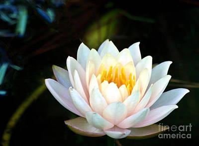 Photograph - Elegant White Water Lily by Ken Frischkorn
