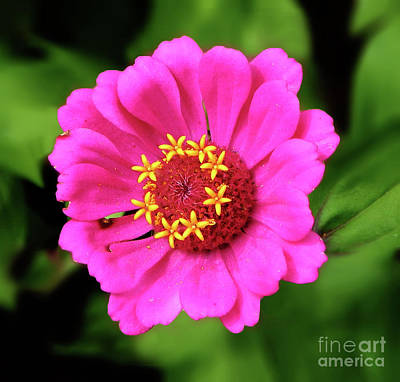 Photograph - Elegant Zinnia Flower Pink Tones by Dave Nevue
