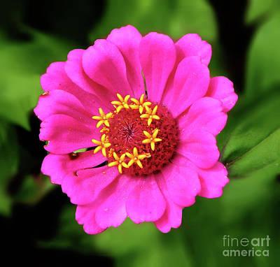Photograph - Elegant Zinnia Flower Pink Tones by Dave Nevue