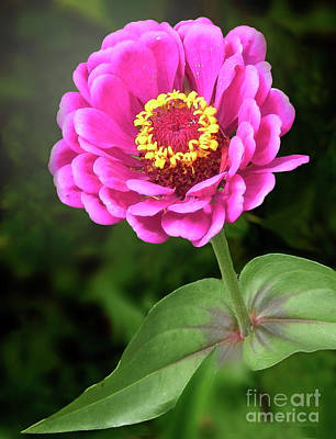 Photograph - Elegant Zinnia Soft Glow by Dave Nevue