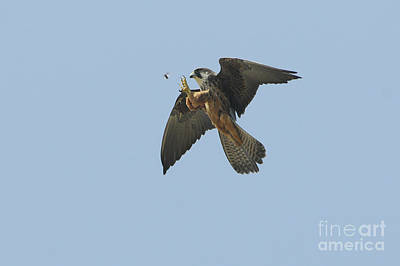Greek Insects Photograph - Eleonoras Falcon by Richard Brooks/FLPA