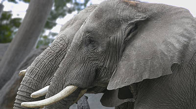 Photograph - Elephant 1 by Michel DesRoches