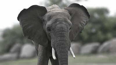 Photograph - Elephant 2 by Michel DesRoches