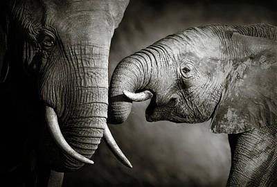 Animals Royalty-Free and Rights-Managed Images - Elephant affection by Johan Swanepoel