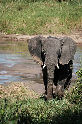 Photograph - Elephant At The River by Mary Lee Dereske