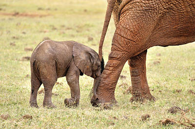 Impish Photograph - Baby Elephant by Juergen Feuerer