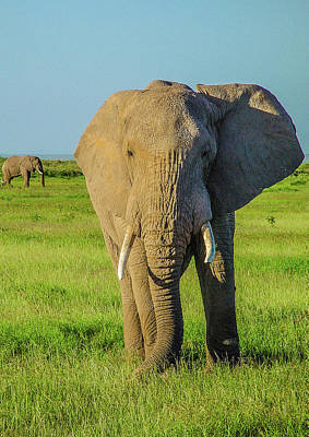 Elephant Bull In Amboseli Original