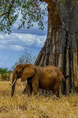 Photograph - Elephant By Baobab Tree by Marilyn Burton