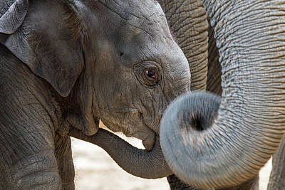 Photograph - Elephant Calf by Arterra Picture Library