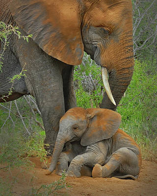 Photograph - Cute Little Elephant Calf Taking A Dust Bath With Mom by Martin Heigan