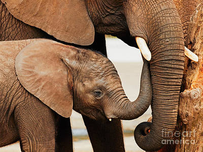 Photograph - Elephant Calf With Mother by Nick  Biemans