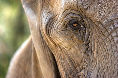 Photograph - Elephant Close-up by Pictorial Decor