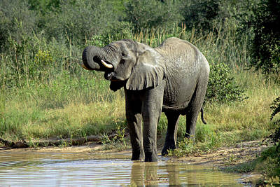 Photograph - Elephant Drinking by Tony Murtagh