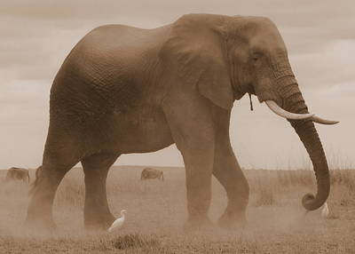 Photograph - Elephant Dust by David Olson