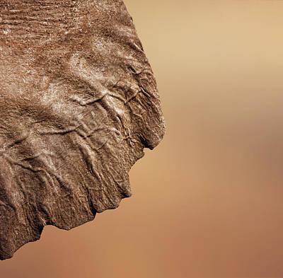 Photograph - Elephant Ear Close-up by Johan Swanepoel