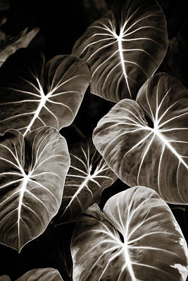 Photograph - Elephant Ears On Parade by Marilyn Hunt