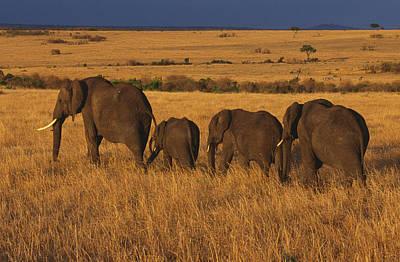 Photograph - Elephant Family - Sunset Stroll by Sandra Bronstein