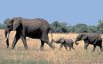Elephant Family Art Print by Carl Purcell