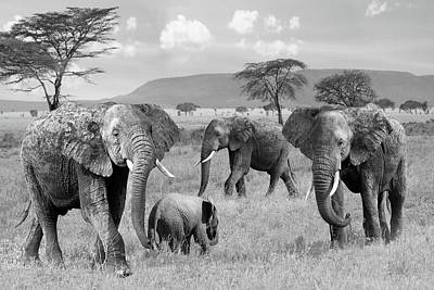 Photograph - Elephant Family Wild And Free In Black And White by Gill Billington