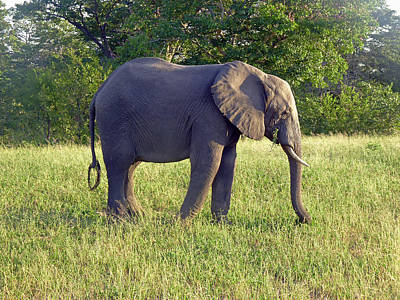 Photograph - Elephant Feeding by Tony Murtagh