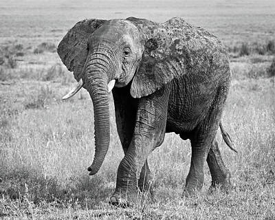 Photograph - Elephant Happy And Free In Black And White by Gill Billington