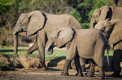 Photograph - Elephant Herd by Fran Gallogly