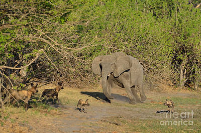 Photograph - Elephant Intimidating Wild Dogs Tom Wurl by Tom Wurl