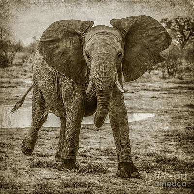 Photograph - Elephant Mock-charging by Liz Leyden