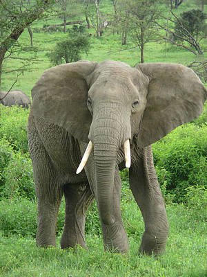 Photograph - Elephant Near Ndutu by Ellen Henneke