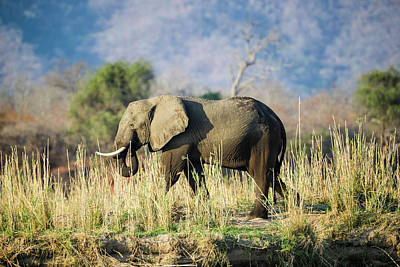 Photograph - Elephant On The Zambezi by Fran Gallogly