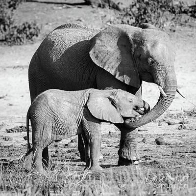 Elephant Parent With Calf Black And White Art Print