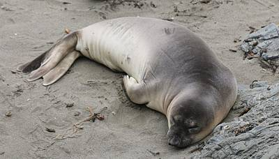 Photograph - Elephant Seal - 4 by Christy Pooschke
