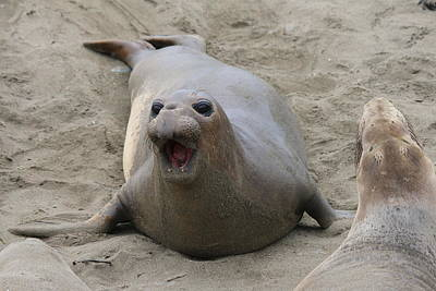 Photograph - Elephant Seal - 5 by Christy Pooschke