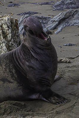 Elephant Seals Photograph - Elephant Seal Calling by Garry Gay