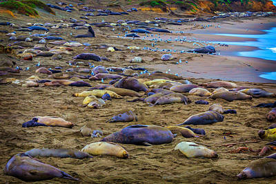 Elephant Seal Coloney Art Print by Garry Gay