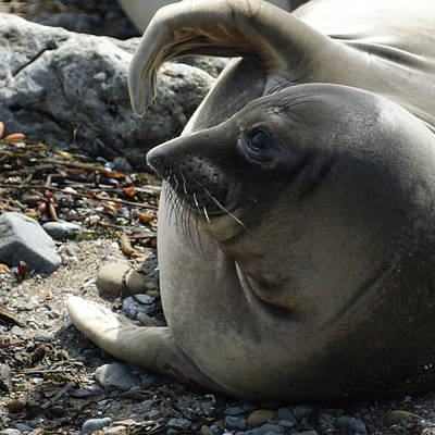 Photograph - Elephant Seal by Ernie Echols