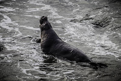 Elephant Seals Photograph - Elephant Seal In Surf by Garry Gay