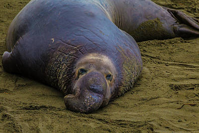 Cambria Photograph - Elephant Seal Portrait by Garry Gay