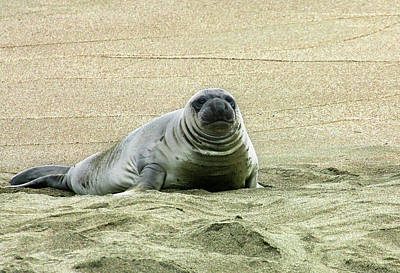 Photograph - Elephant Seal Pup by Anthony Jones
