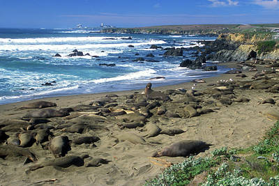 Photograph - Elephant Seal Rookery by John Burk