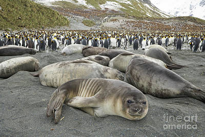 Photograph - Elephant Seal Weaner Pups by Yva Momatiuk John Eastcott