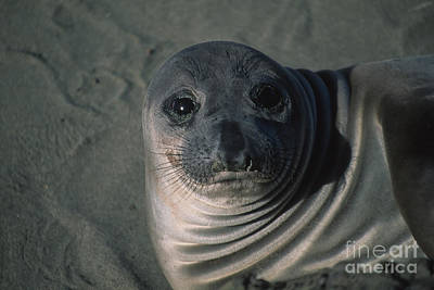 Photograph - Elephant Seal Weaner by Stan and Anne Foster