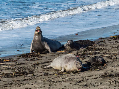 Photograph - Elephant Seals At San Simeon by Patti Deters