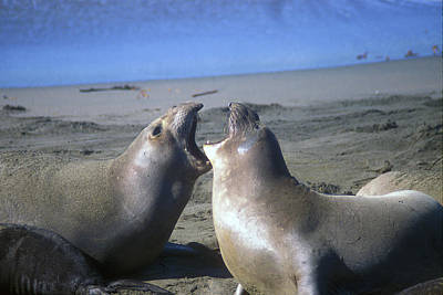 Photograph - Elephant Seals Calling by John Burk