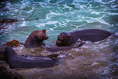 Cambria Photograph - Elephant Seals Fighting In The Surf by Garry Gay